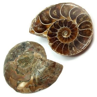 Ammonite Fossils Cut Pair