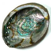 Abalone Shells (Mexico)