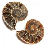 Cut Pair Cleoniceras Ammonite Fossils (China)