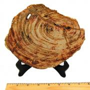 Petrified Wood - Fossilized Wood Slabs